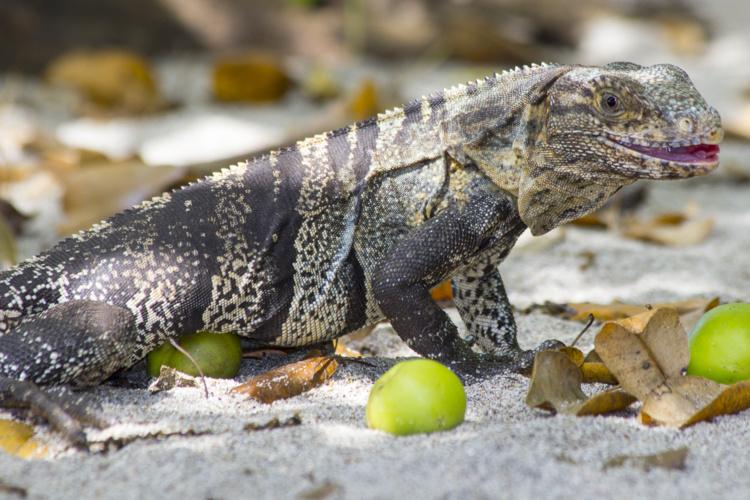 Un iguane retrouvé à Tipaerui