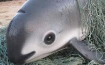 Mexique: le plus petit cétacé au monde au bord de l'extinction