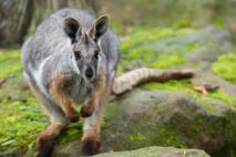 Un kangourou saute sur une Australienne et lui rompt ses implants mammaires