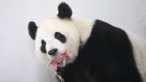 """""""C'est un fils!"""": première naissance en Belgique d'un bébé panda géant"""