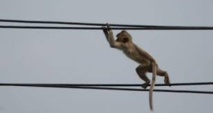 Kenya: un singe à l'origine d'une panne d'électricité nationale