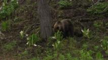 Japon: appel à la prudence après quatre attaques probables d'ours