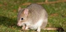 Un rongeur australien est peut-être le premier mammifère disparu à cause du réchauffement global