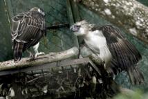 Un minuscule sanctuaire offre une lueur d'espoir aux aigles menacés des Philippines