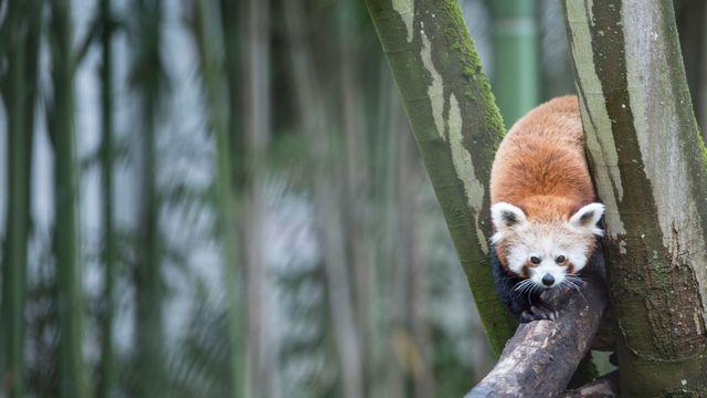 Le panda roux lors de l'inauguration de l'espace asiatique au zoo de Mulhouse le 15 juin 2016  afp.com/Sébastien BOZON