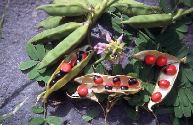Les graines de pitipitio, le haricot paternoster (Abrus precatorius), sont récoltées sur des lianes envahissantes. Elles sont mortelles si elles sont ingérées.
