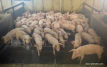 Un élevage de porc (photo d'illustration AFP).