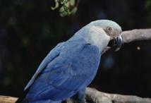 Brésil : un petit perroquet bleu vu dans la nature, plus de 15 ans après sa disparition