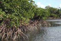 La mangrove, un piège à carbone aux potentiels encore méconnus