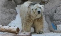 Argentine : décès d'Arturo, dernier ours polaire en captivité