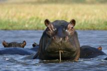 Des hippopotames, insolite héritage du capo Pablo Escobar en Colombie