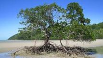 La mangrove victime du réchauffement en Australie