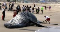 Argentine : une baleine échouée, puis secourue, puis retrouvée morte