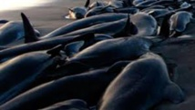 Chili: nouvel échouage massif de baleines dans le sud