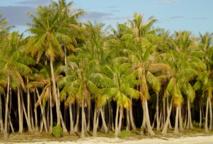Un nouveau projet vise à sauvegarder la diversité des variétés de cocotiers dans les îles du Pacifique