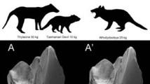 Un ancien marsupial carnivore découvert en Australie