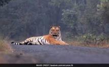Le mystère de la disparition de Jai, tigre chéri des Indiens