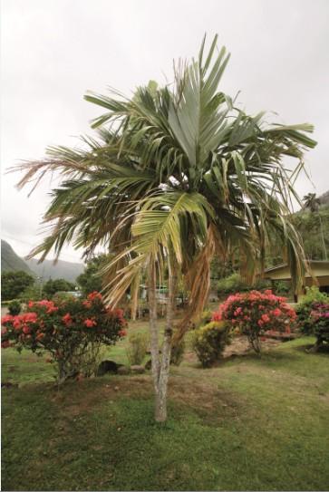 Ce enu à double tête est unique ; il se trouve dans un jardin de Taipivai, la vallée des cannibales immortalisée par Melville.