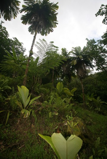 Au pied des derniers enu de Taipivai, quelques noix sont parvenues à germer et de jeunes palmiers sortent de terre. Malheureusement, ces jeunes pousses sont à la merci d'un cheval sauvage errant ou d'un bovin comme il y en a tant aux Marquises.