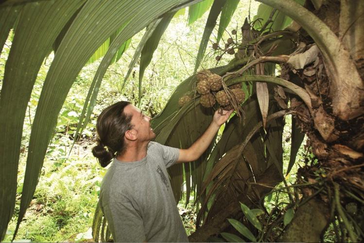 Frédéric Benne, qui nous a guidé sur le chemin des derniers enu, récolte les graines grâce à des paniers fixés sur les stipes ; celles-ci sont ensuite livrées à la plantation du SDR.