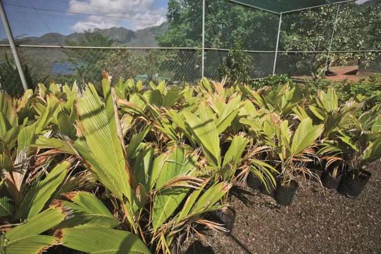 Les jeunes enu dans leur plantation du SDR, à Taiohae.