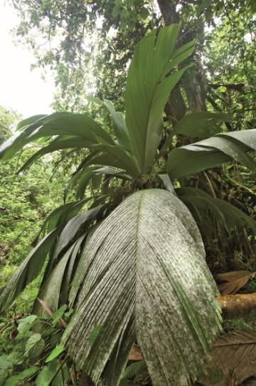 On reconnaît le enu entre tous les autres palmiers, notamment à ses grandes feuilles très peu découpées (contrairement au cocotier par exemple). L'arbre fait la fierté de ceux qui ont la chance d'en posséder, aux Marquises comme à Tahiti d'ailleurs.