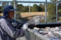 Le saumon chilien veut s'alléger en antiobiotiques