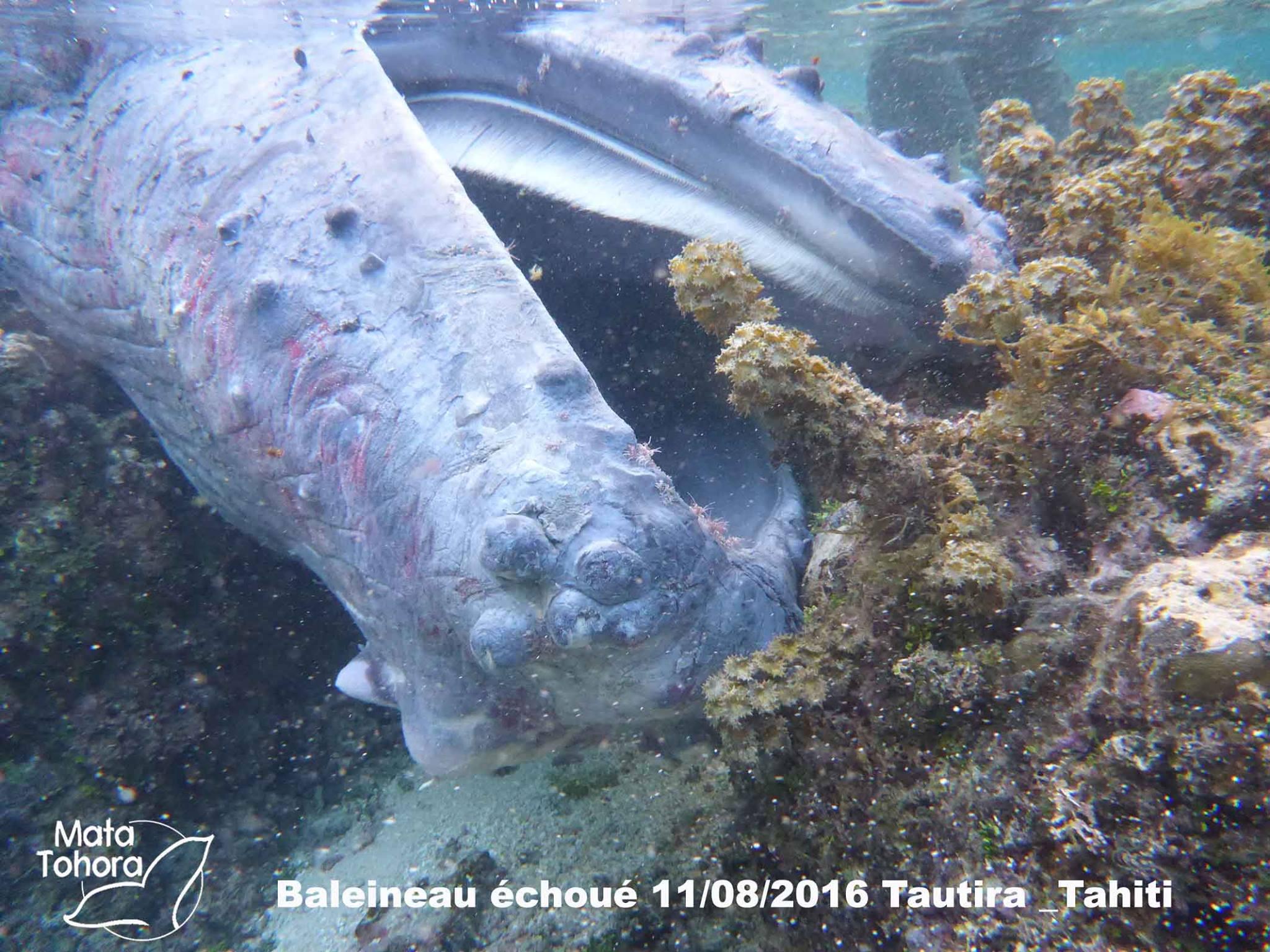 Le baleineau de Tautira est mort