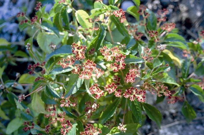 Les plants de vaianu (Lapoertea ruderalis) forment de petits massifs verts et grenat.