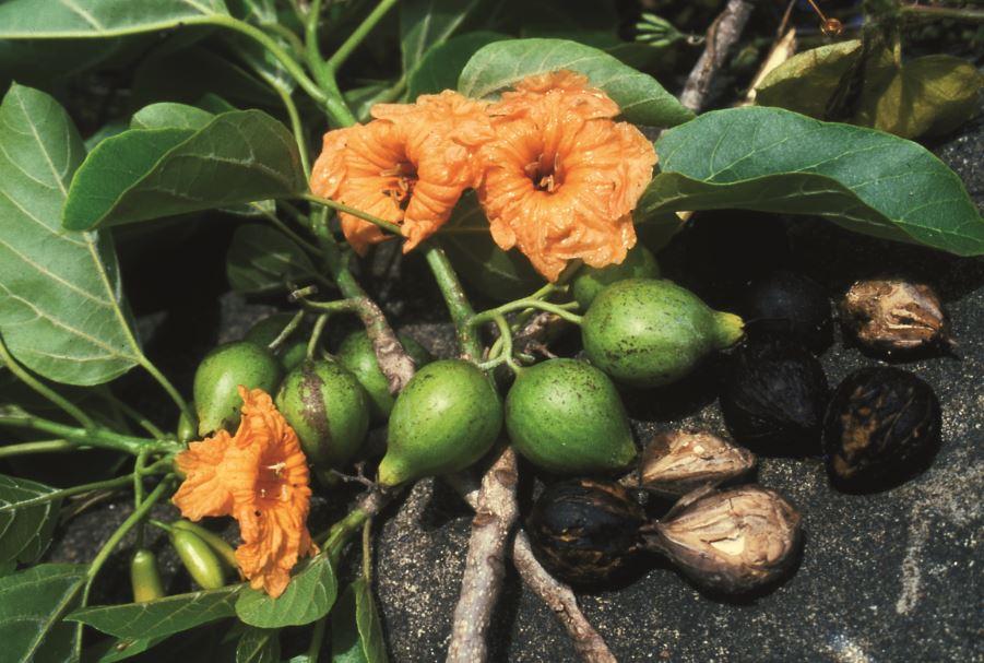 La fleur du tou (Cordia subcordata), dont le bois fait le bonheur des sculpteurs.