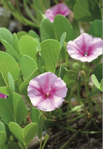 Fleurs de pohue miti, appelé aussi pipi tatahi, ou liseron de mer, poussant en bord de plage (Ipomoea pes-caprae).