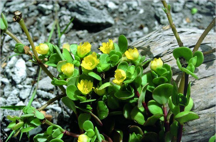 Le pourpier, pokea ou aturi (Portulaca lutea) est une excellente source de vitamines.
