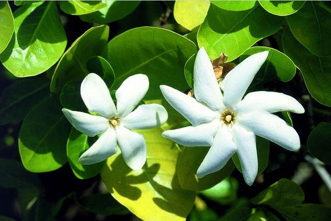 L'incontournable tiare Tahiti (Gardenia taitensis) sait, dans les atolls, se contenter de sable pour sa croissance.