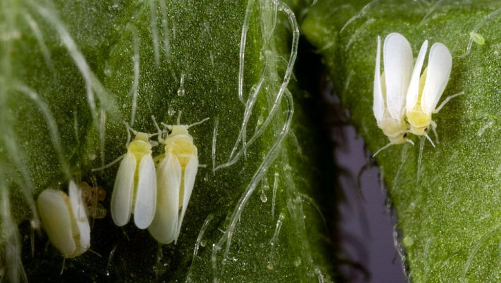 Un insecte résistant aux pesticides pourrait dévaster les cultures aux Etats-Unis