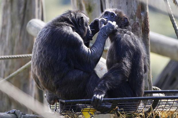 Les chimpanzés préfèrent coopérer qu'être en compétition (étude)