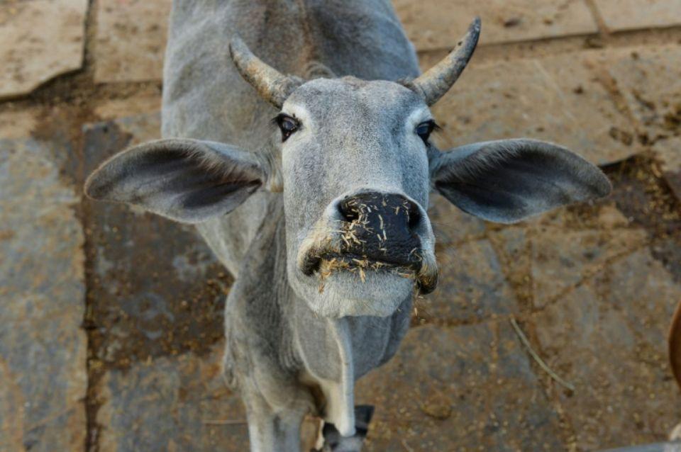 Inde : les cornes des vaches équipées pour être visibles la nuit