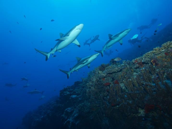 A Ahe, les requins gris, les fameux raira, sont désormais complètement protégés et donc évoluent tranquillement.