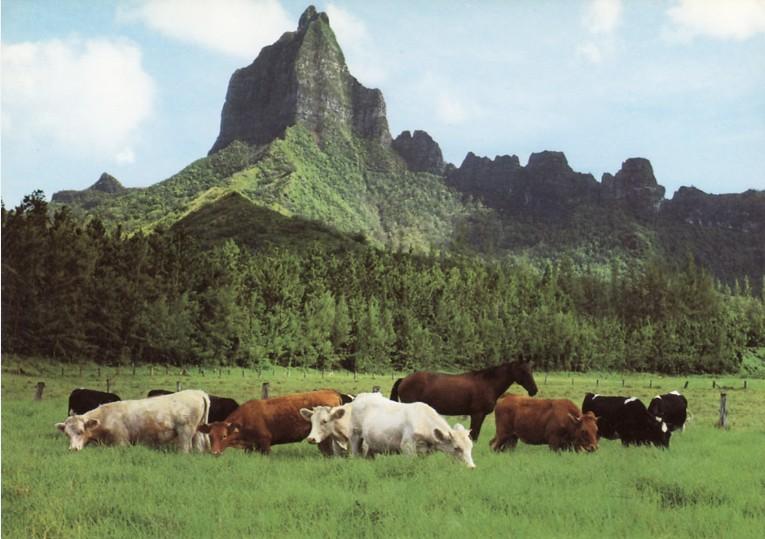 Vaches dans le domaine agricole d'Opunohu, vers 1970, Moorea