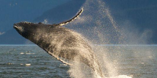 Plus de danger d'extinction pour la plupart des populations de baleine à bosse