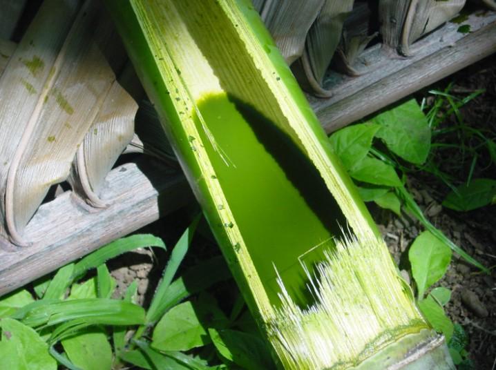 Teinture verte obtenue avec des feuilles de papayer.