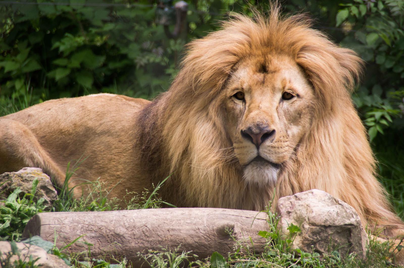 Un lion d'Asie arrive à Besançon pour former un nouveau couple reproducteur
