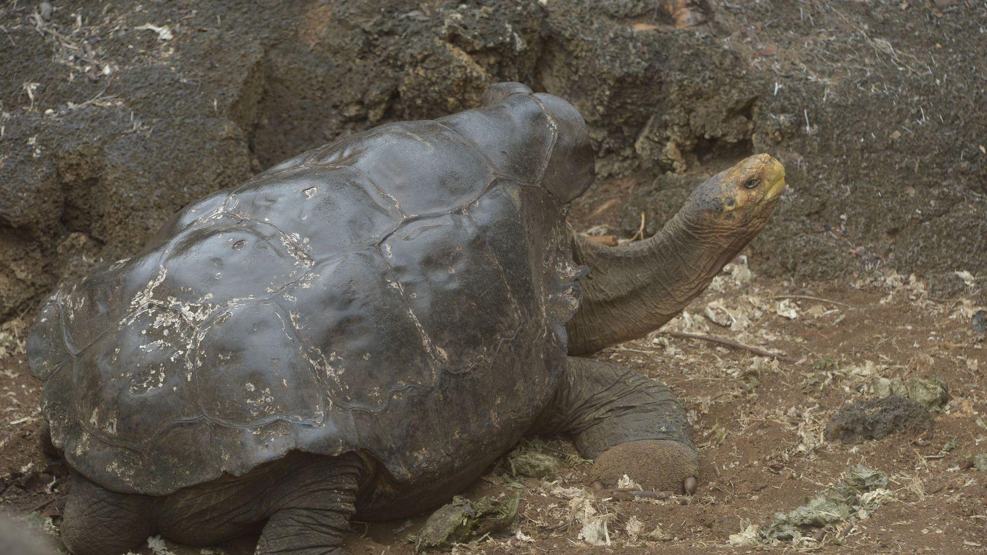 Diego, tortue sex-symbol qui a sauvé son espèce aux Galapagos