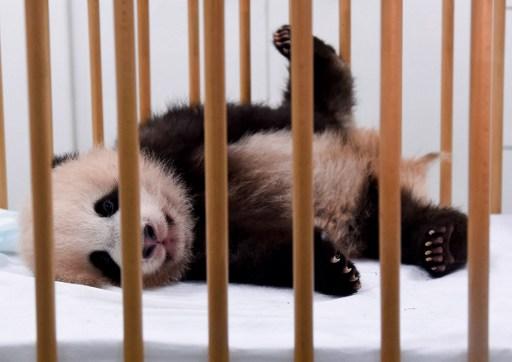 """""""Je m'appelle Tian Bao"""": le premier bébé panda de Belgique a un nom"""