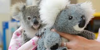 Australie: un koala orphelin se console avec une peluche