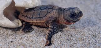 À Fréjus, éclosion du premier oeuf d'une tortue marine venue pondre sur la plage