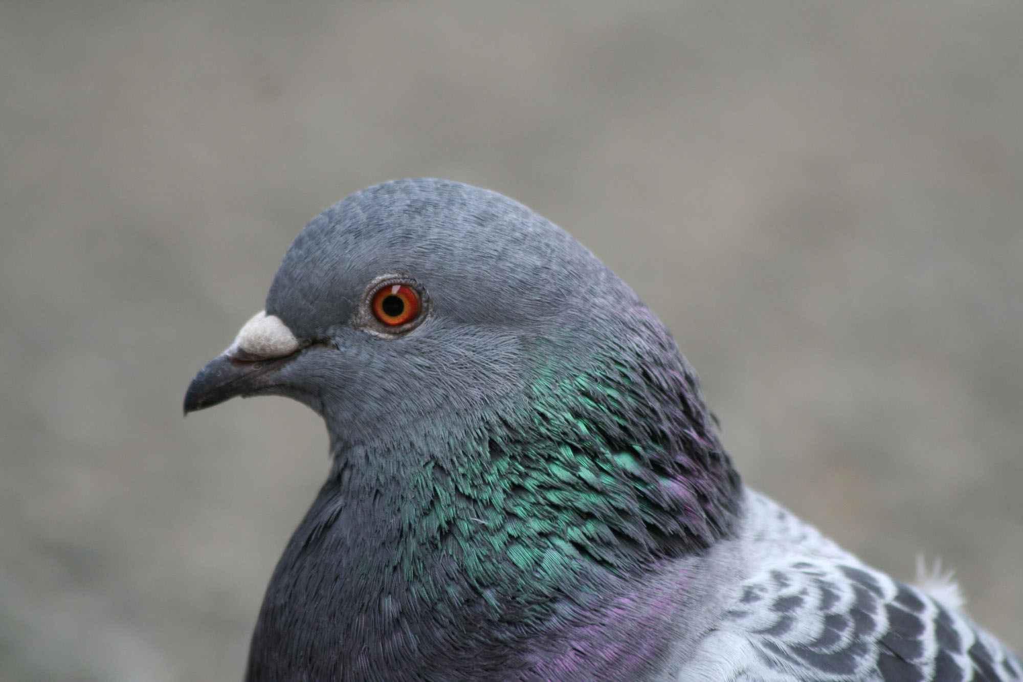 Inde: un pigeon en détention pour une lettre de menaces