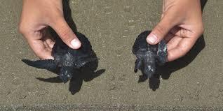 Indonésie: des tortues de mer recouvrent la liberté au large de Sumatra