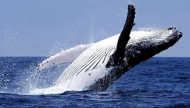 Baleines: la chasse scientifique sera plus strictement encadrée