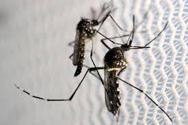 Brésil: des moustiques transgéniques pour vaincre le virus Zika en copulant