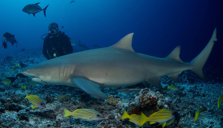 Les requins ont été étudiés principalement au large de Moorea et Tahiti, où le nourrissage artificiel est pratiqué, ainsi qu'autour de Tetiaroa, Maiao et Mehetia. Crédit photo : Lauric Thiault.
